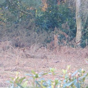 Suffolk Muntjac