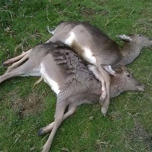 Two Fallow Prickets