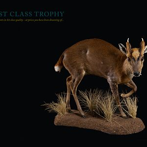 First Class Trophy Taxidermy
