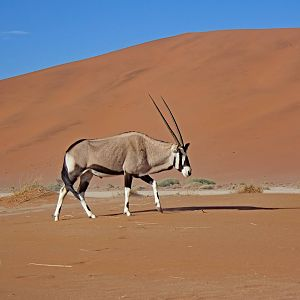 Africa - Oryx Red Dunes