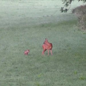 Roe Doe and Fawn
