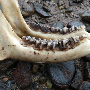 Lower mandible dentition and wear.