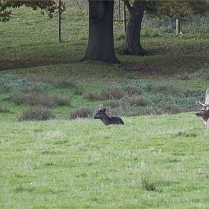 Deer in Petworth Park - Laying Up